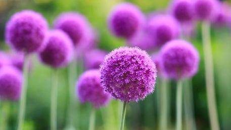 Purple Allium flowers  English Gardens, Assiniboine Park, Winnipeg, Manitoba, Canada